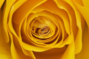 Bright Yellow Rose Flower by photographybypixie
