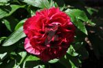 Dramatic peony by snoogaloo