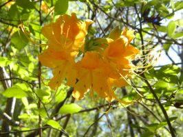 Rhododendron austrinum selection by TheLordTaxus