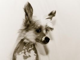 My Chinese Crested dog 2 by AndreyCherkasov