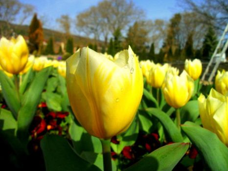 Yellow Tulips... by pate121