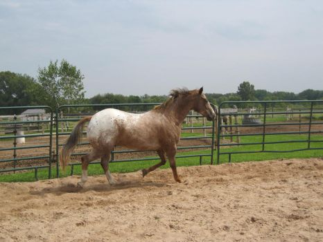 Red Roan Appaloosa 12 by scenic-desires