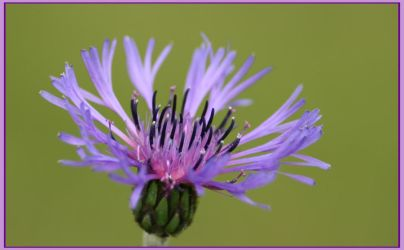 Mauve flower second stage by Adenar