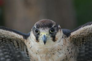 Indian Peregrine Falcon by little--grasshopper