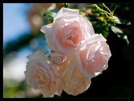 White Roses by FT69