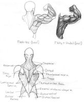 Study - Muscle stucture BA by SAB-CA
