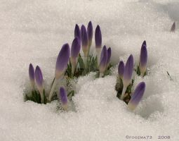 impatient crocus 2008 by Foozma73