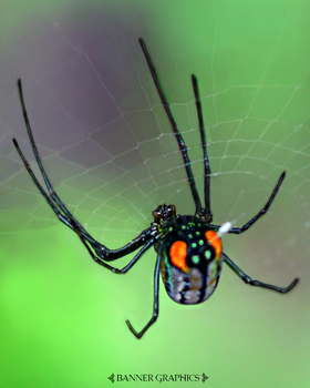 Itsy Bitsy Spider by BannerGraphics
