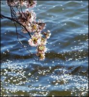 Cherry Blossoms 2 by CarouselOfLife