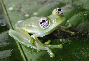 Glass frog Sachatamia ilex by Mallophora