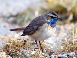 Bluethroat 02 by nordfold