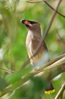 Cedar Waxwing with Berry by robbobert