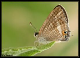 Another Good Looking Butterfly by sapog