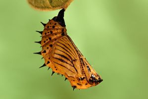 Malayan Eggfly Pupae 130309 by inckurei