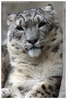 Snow Leopard 003 by ShineOverShadow