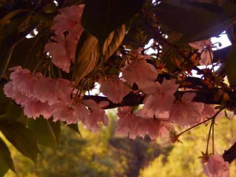 Cherry Blossoms by Starr4101