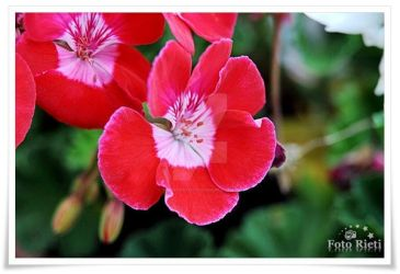 Pink flowers by passionefoto