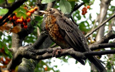 Young robin in a Mountain Ash tree by laurelrusswurm