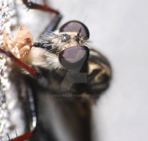 Robber Fly and Dinner Macro by Larah88