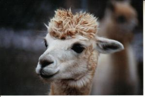 alpaca1 by wphotographer44