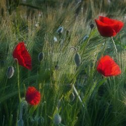 Poppies 5 by wienwal