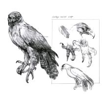 Wedge-tailed Eagle Study by oxpecker