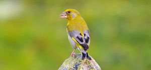 European Greenfinch 03 by nordfold
