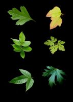 6 Leaves psd by GRANNYSATTICSTOCK