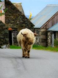 Highland Coo 1 by Daisy919