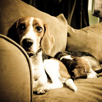Boy Beagles by OneLttle1