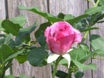 Purple Rose, Next to Fence by HuskersGirlLaura