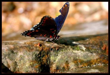 Red-spotted Purple by GeodeLady
