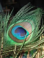 peacock feather by ftourini-stock