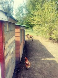 just a few of my chickens  by charlee718