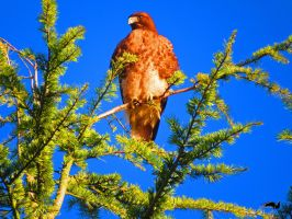 Red Tailed Hawk On Watch by wolfwings1