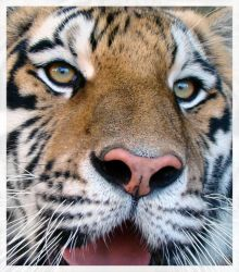A Tiger's Joy by HeWhoWalksWithTigers