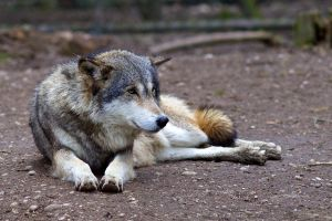 Wolf 05 Stock by lokinststock