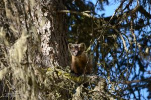 American marten in fir tree 2 by themanitou