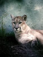 Florida Panther by Aegyptica