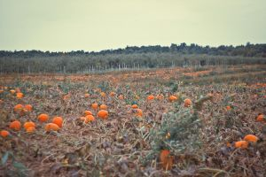 Pumpkin Field by BreAnn