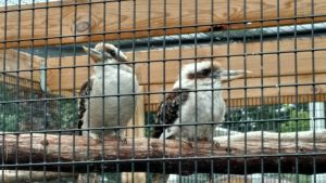 Kookaburras by Flight-Level