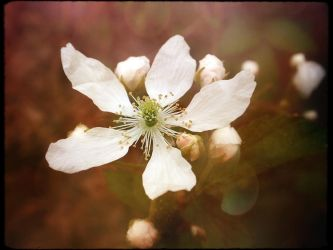 blackberry blooms by duckpondevans