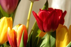 Tulips - sign of spring by Escara40