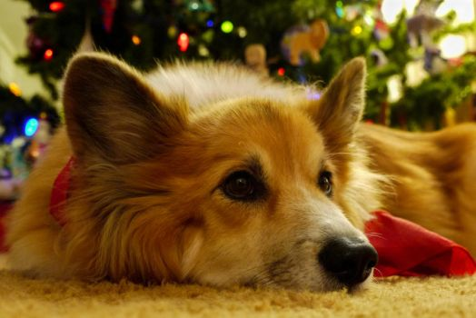 Christmas Corgi by DancingCorgi