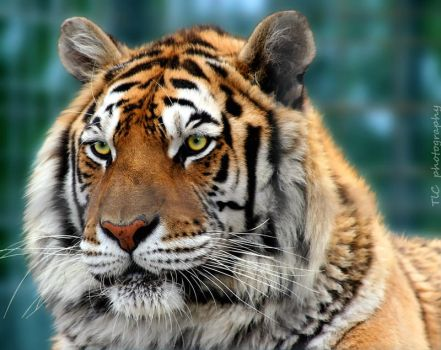 A tiger's portrait by TlCphotography730