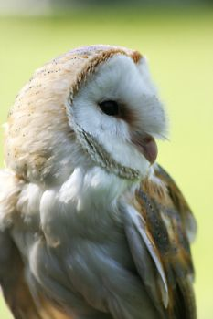 BARN OWL PORTRAIT by alanclimb