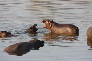 Hippos at Play by RedPangolin
