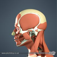 Muscular System 3D Model 03 by TheRealPlasticboy