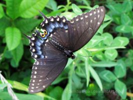 Black Swallowtail, female by Simbas-pal