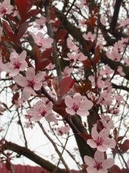 Plum flowers by Sirith